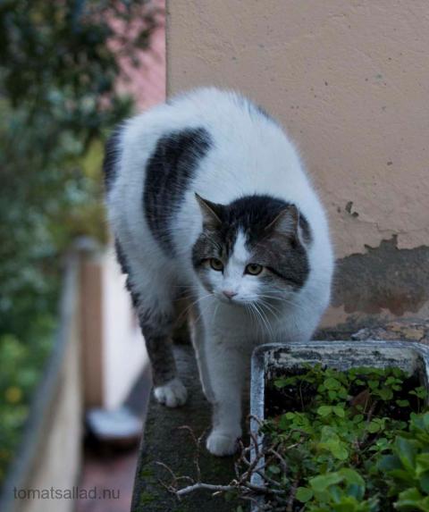 fransk-katt-0354