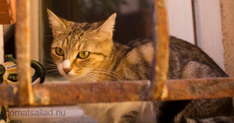 fransk-katt-2936