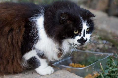 fransk-katt-9808