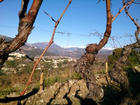 vinrankor med utsikt