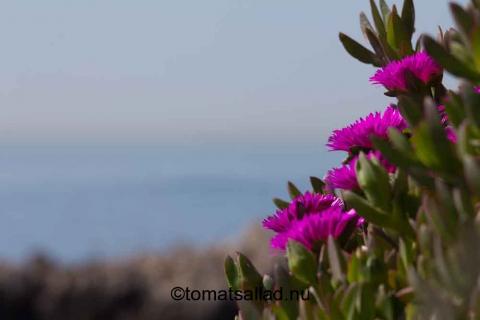 rosa blommor och medelhavet