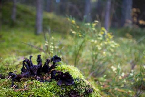 frostnupen-svamp-4638
