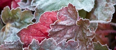 rimfrostiga blad av alunrot