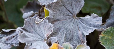 rimfrostiga blad av daggkåpa