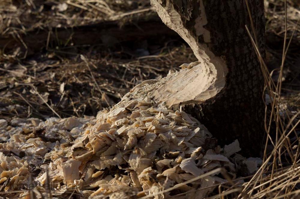 Träd som bäver håller på och fäller