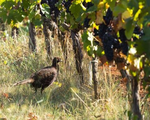 fasan i vingård på St Honorat