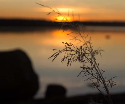 frostigt strå i soluppgång