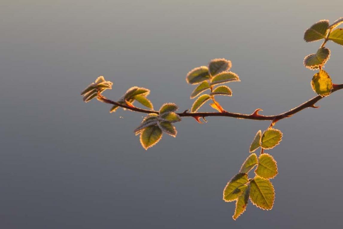 frostigt nyponblad i morgonljus