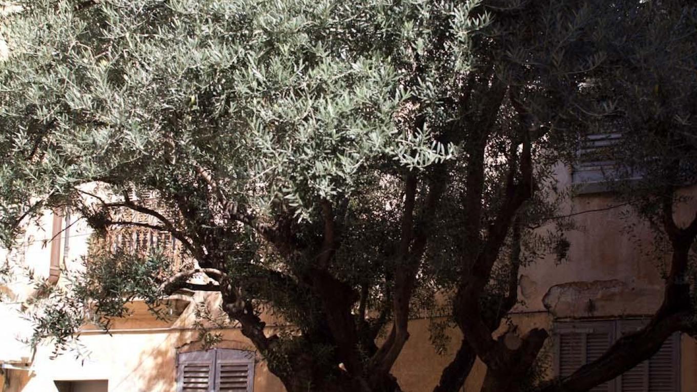 olivträd fotat med 30mm