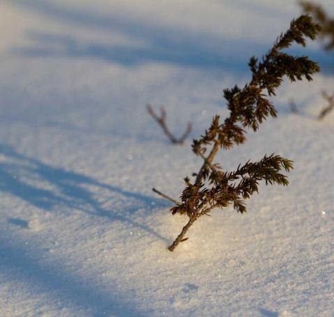 kvist sticker upp ur snö