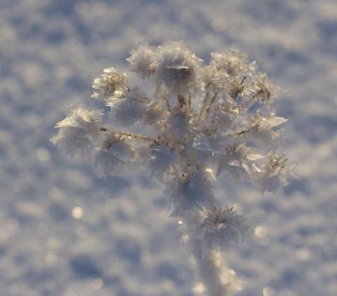 rimfrost i fröställning