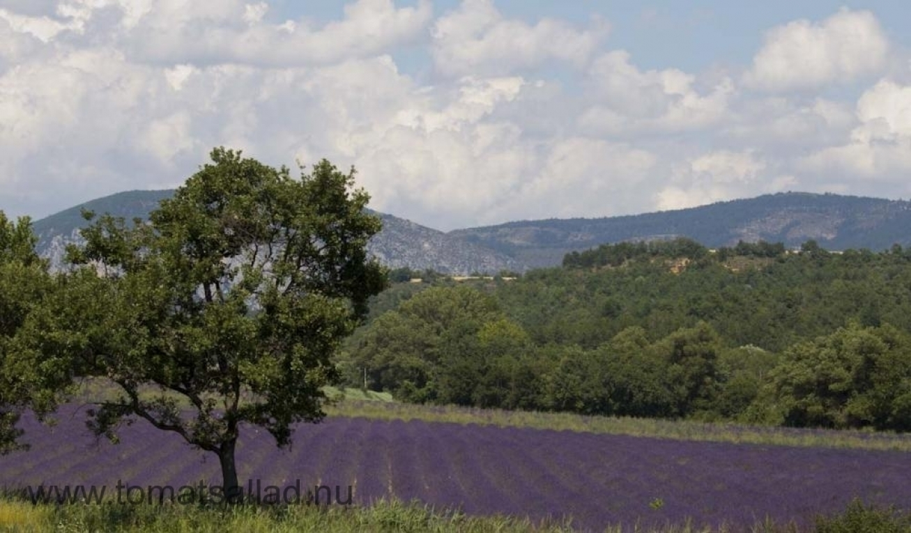 Lavendelfält strax utanför Puimoisson