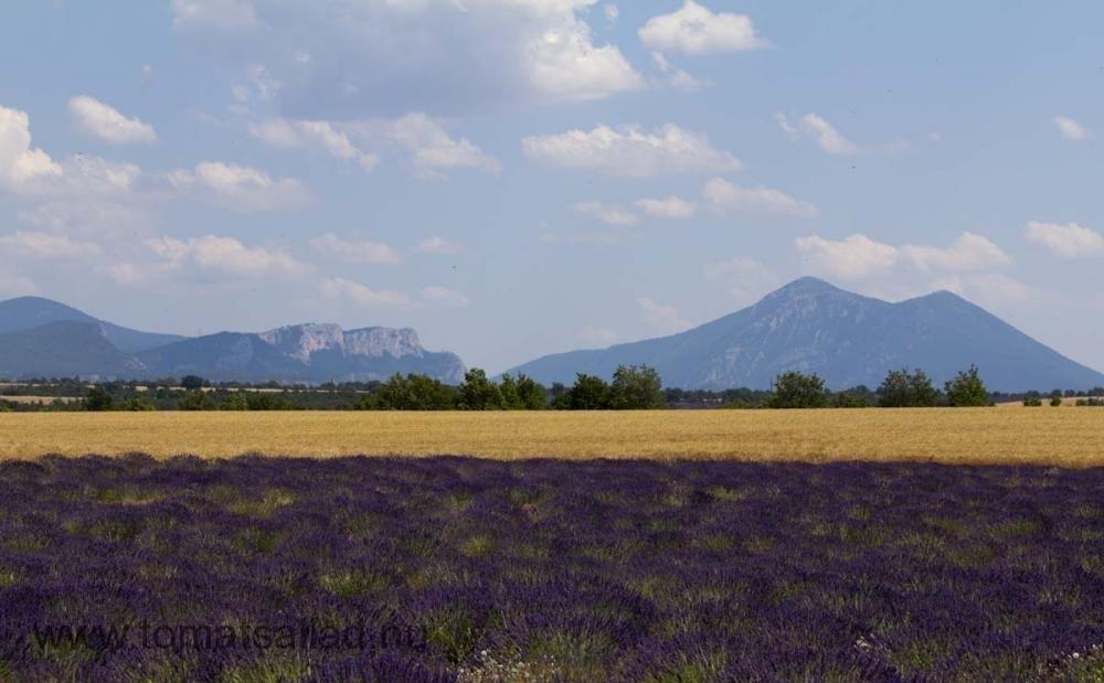 Lavendelfält mellan Puimoisson och St Jur