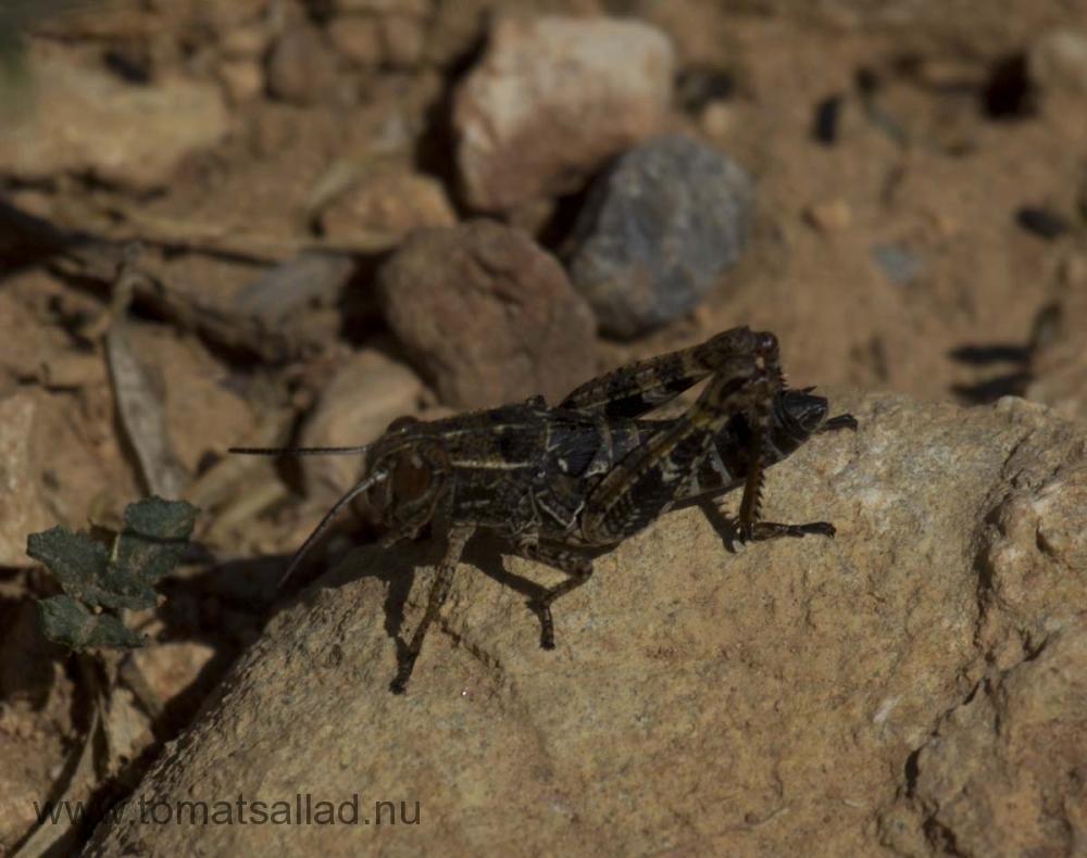 gräshoppa - en av många