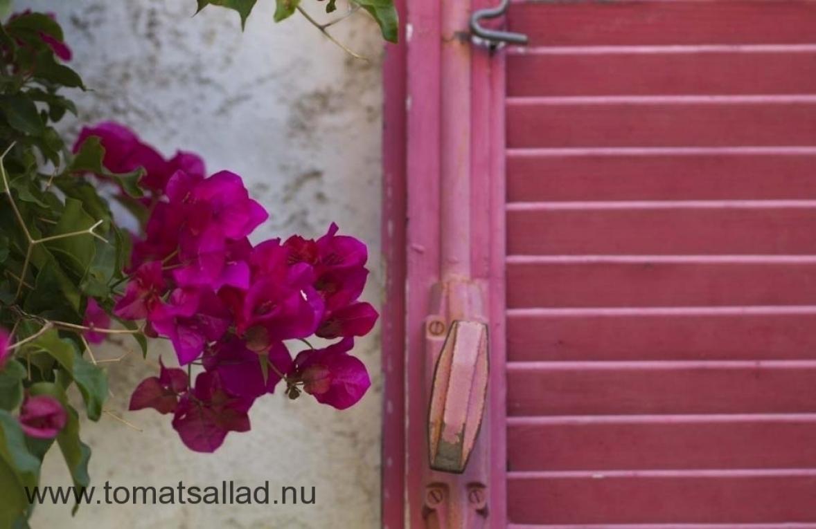 Rosa Bouganvilla och rosa fönsterlucka