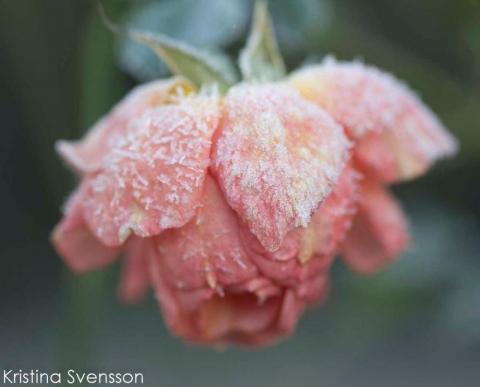 rosa ros med iskristaller