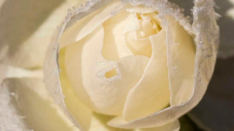 vit ros med iskristaller