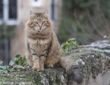 fransk-katt-6113