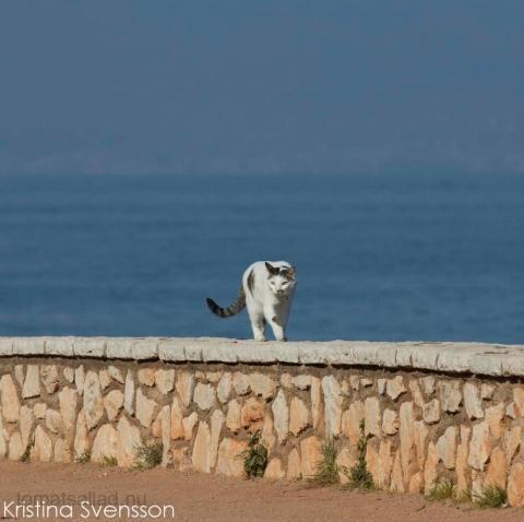 fransk-katt-7987