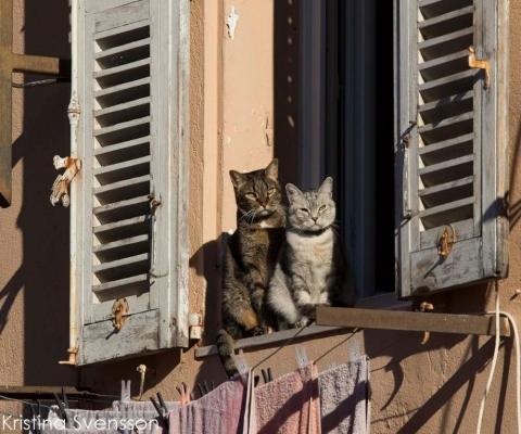 fransk-katt-9470