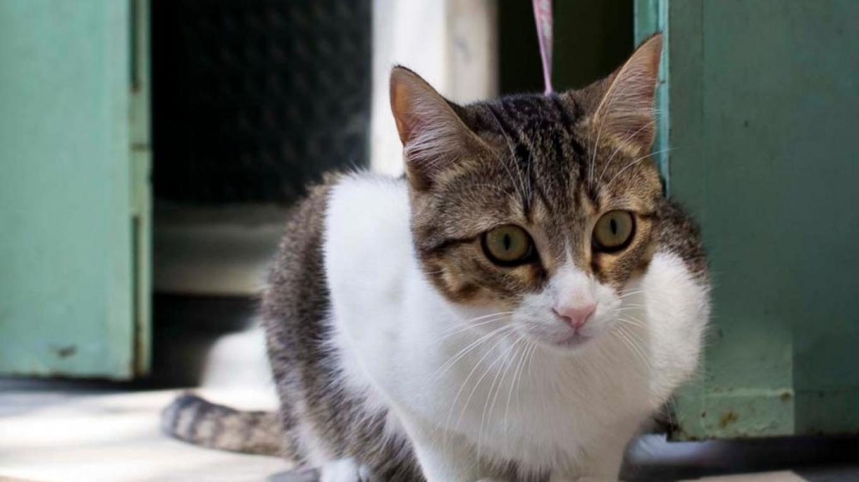 fransk-katt-9746