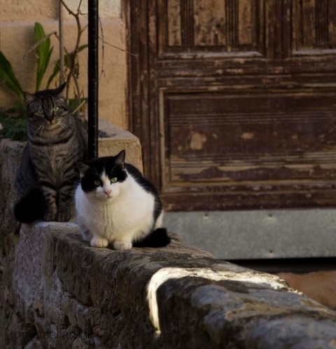 fransk-katt-9890