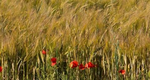 vallmo vid kanten av ett fält