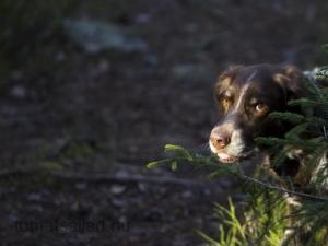 hunden-3695
