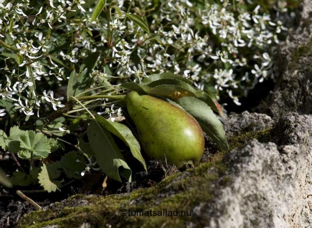 nedfallet päron