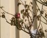 Rosor som överraskats av vintern