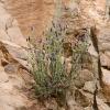 Lila fjärilslavendel och röda klippor