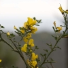 Gula blommor av något slag :-)