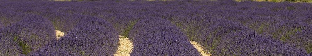 header-lavendel-1-0529