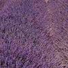 lavendelfält i Provence