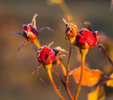 frostiga rosknoppar i morgonljus