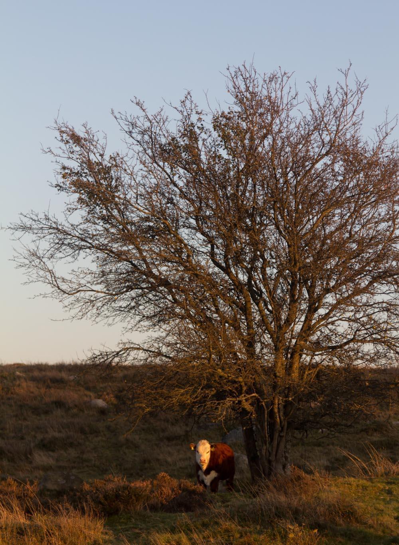 ko och träd