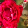 senblommande ros