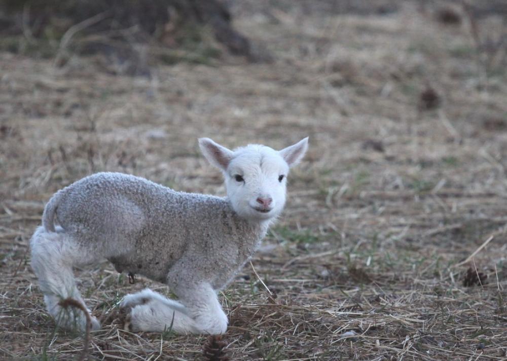 litet lamm