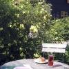rosberså i trädgårdsföreningen