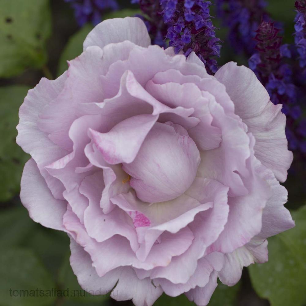 lila ros