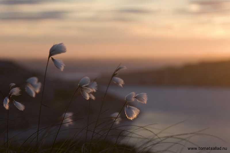 ängsull i solnedgång