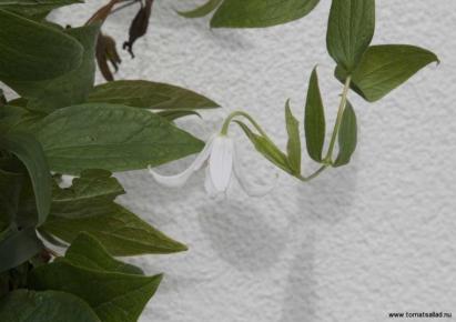 clematis integrifolia Gazelle