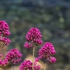 rosa blommor över medelhavet