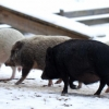 glada grisar på språng