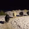Glada grisar på rad