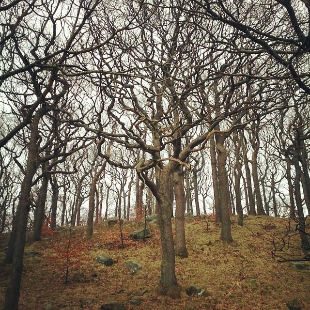 Dagena träd: en ek! Hade jag tittat ut och sett att det var snöglop ute hade jag nog valt en arkivbild men eftersom det varit lite tunt med bilder på sista tiden (inte nöjd med de jag tagit) gick jag ut. Det blev en lång promenad eftersom flera vägar var avstängda pga byggverksamhet. #mölndal #MölndalsPosten #molndalsposten #dagensträd #mäktigaekar #ekbacke