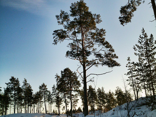 Årets sista snöiga träd?