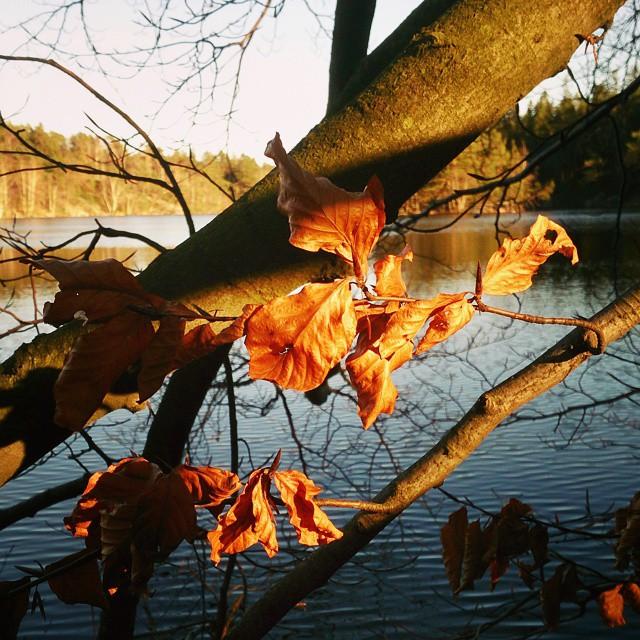 Glödande boklöv i kvällssol vid Norra Långvattnet. #boklöv #lake  #eveninglight #insjö