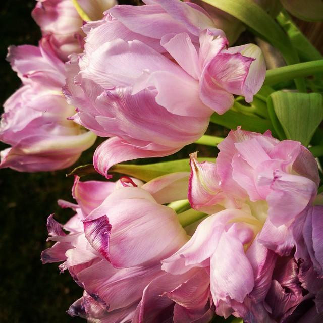 De här tulpanerna vissnade verkligen på ett fint sätt. Kändes sorgligt att slänga dem. #tulpaner