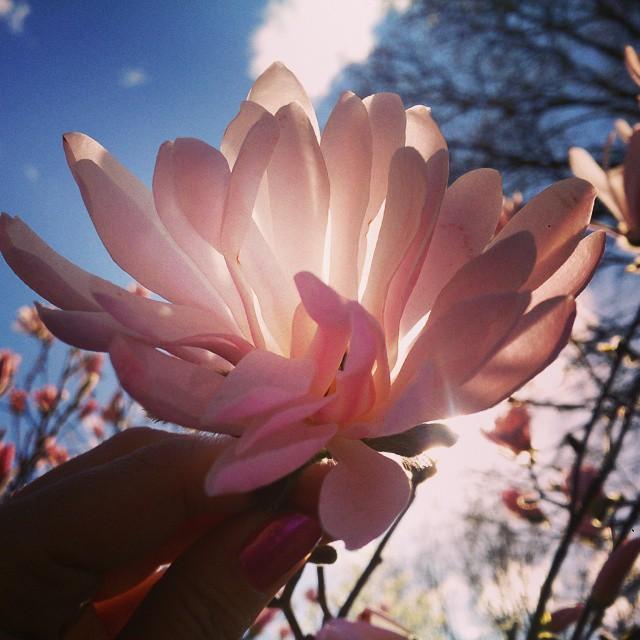 @bergkarlm utlovade blommande magnolia och hon höll vad hon lovade.  Örebro är minsann en mkt trevlig stad, om de bara fixar vägen från Gbg så den håller högre än 80 sådan jag tänka mig återbesök. #stjärnmagnolia #Örebro #rosastjärnmagnolia #stadsparken #mellanGbgochSthlm